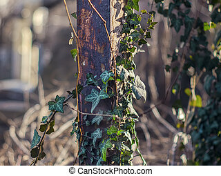 Green ivy growing on a rusty pipe