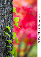 Green Ivy Growing on a Tree Trunk with a Vivid Red Japanese Maple Tree in the Background on a Texas Autumn Day