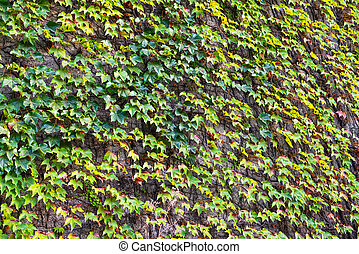 Green Ivy growing on a vertical cement wall;