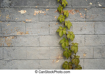 Green ivy growing on gray brick wall. Abstract background. Masonry overgrown with plant