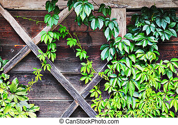 green ivy growing over old lodge