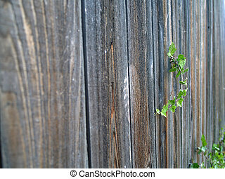 Green ivy growing up a wooden fence