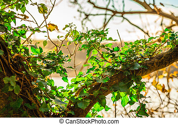 Green ivy growing up on a tree outdoor