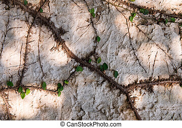 Green Ivy leave on the wall, Concrete wall texture grunge background