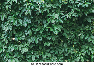 Green Ivy Leaves Natural Background