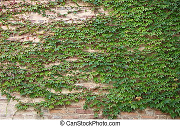 Green ivy leaves on a wall