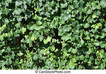 Green ivy leaves on the wall