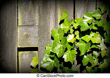 Green Ivy leaves over old plank as background