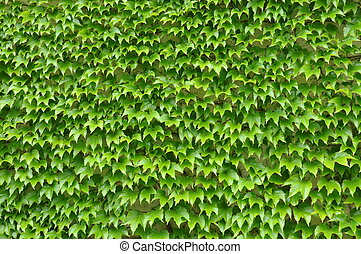 Green ivy leaves wall as background
