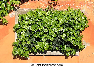 Green ivy on an ancient wall