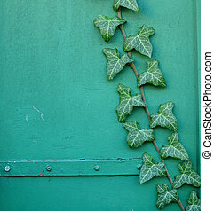 Green ivy on green wall