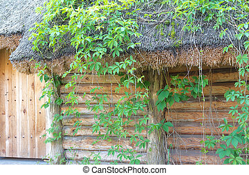 Green ivy on old wooden house