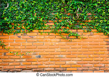 Green ivy on the brick wall