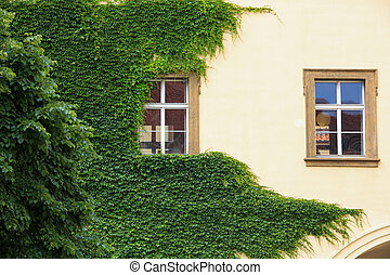 Green ivy on the wall of a house in summer.