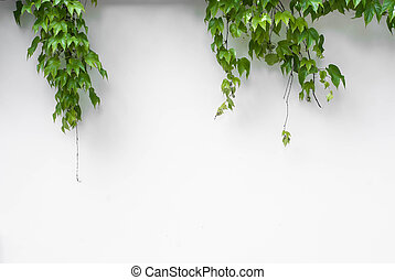 Green ivy on white wall