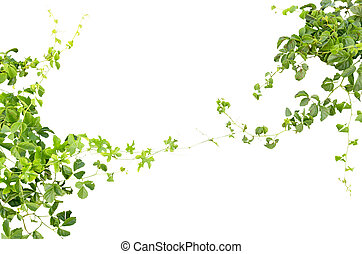 green ivy twigs isolated on a white background