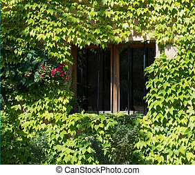 Green ivy wall with window