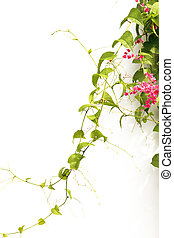 Green ivy with pink blossoms on a white background