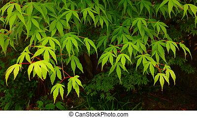 Green Japanese Maple Foliage