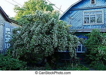green jasmine bush with white flowers at a wooden blue house