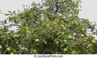 Green juicy apples on a tree on a sunny day.