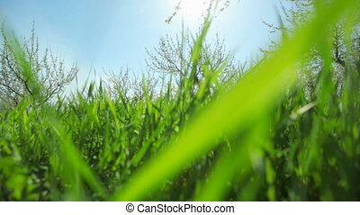 Green juicy grass grows in a fruit garden on a sunny day. Close-up