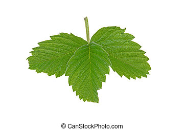 green juicy strawberry leaf on a white background