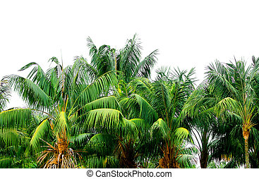 Green jungle tropical palm treetops isolated on white background