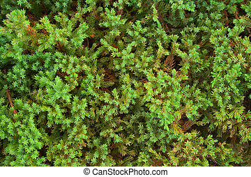 Green juniper background