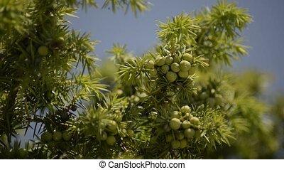 juniper berries - green juniper berries spice and medicine