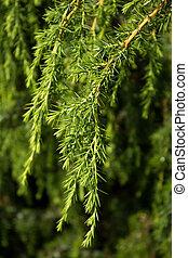 Green juniper branch