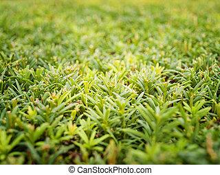 green juniper