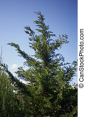 green juniper on blue sky background