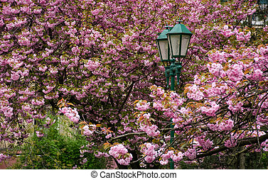 green lantern among cherry blossom. delicate pink flowers...