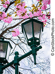 green lantern below the sakura blossom. beautiful romantic...