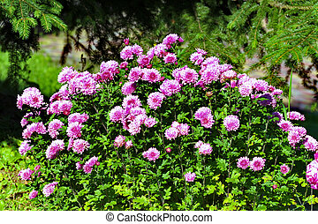 Green, large bush with lots of flower pink asters on it. Flowers are like stars, hence the name from Latin