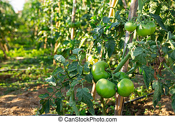 Green large tomatoes on branch in summer garden closeup