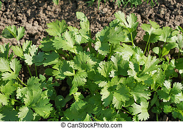 Green laves of parsley. Carved leaves.