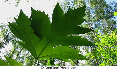 Green leaf 2. - An underside view of leaves on plant in the...