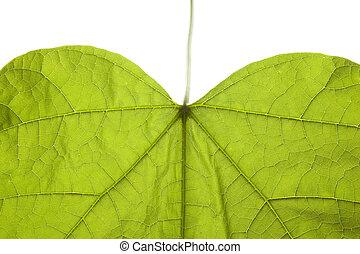Green leaf backlit showing details and veins