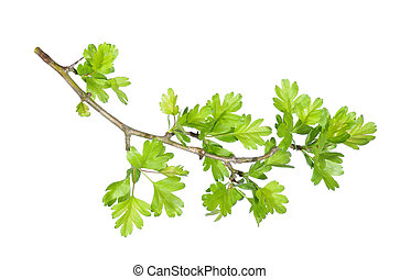 green leaf branch - Tree branch with green leaves isolated
