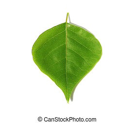 Green Leaf - Gree leaf on white background.