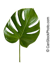 Green leaf isolate on white background