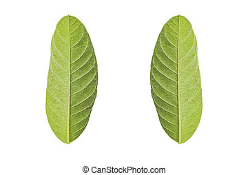 Green leaf isolated on white background with Clipping path