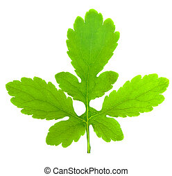 green leaf isolated over a white background
