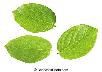 Green leaf isolated white backgroun