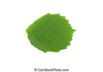 green leaf of a hazelnut on a white background