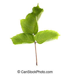 Green leaf of a plant on a white background