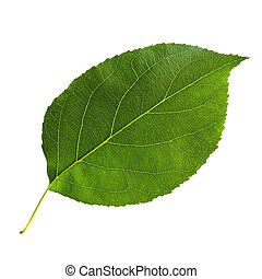 Green leaf of Apple tree isolated on white background.