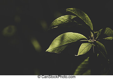 Green leaf close up lit by a ray of sunshine. The magical world of nature, the structure of the leaf of bird cherry.